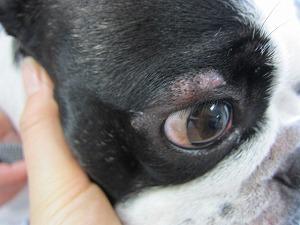 フレンチブルドッグ 眼瞼