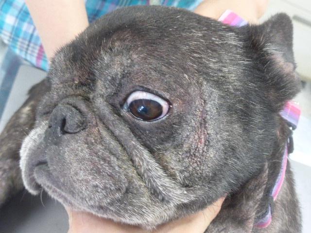 フレンチブルドッグのマラセチア皮膚炎 顔面