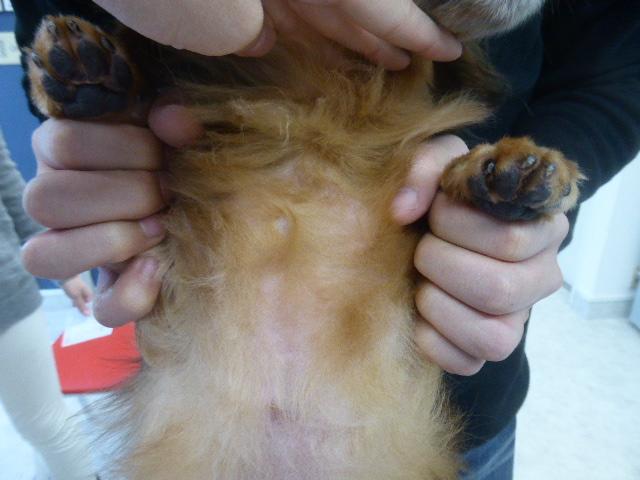 ダックスフンドのアレルギー性皮膚炎 3.5ヶ月後