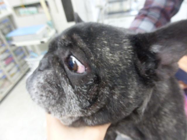 フレンチブルドッグのマラセチア皮膚炎 3.5ヶ月後