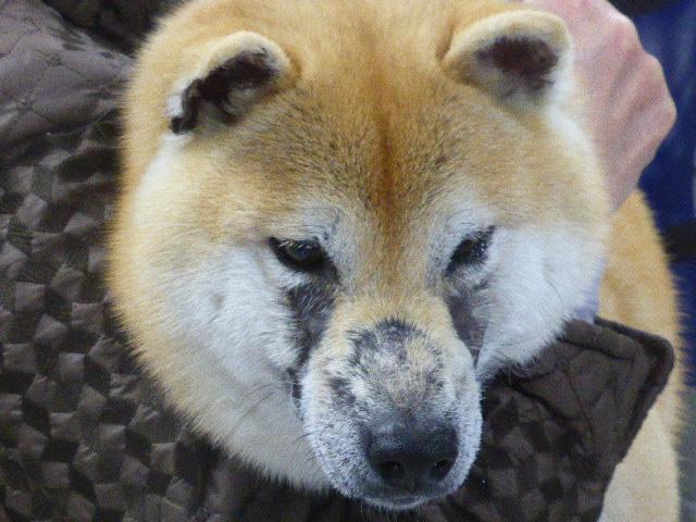 柴犬の毛包虫症 顔面