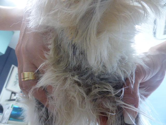 ウェスティーの毛包虫症 2ヶ月後