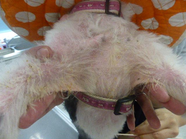 MIX(シーズー)の毛包虫症 胸部