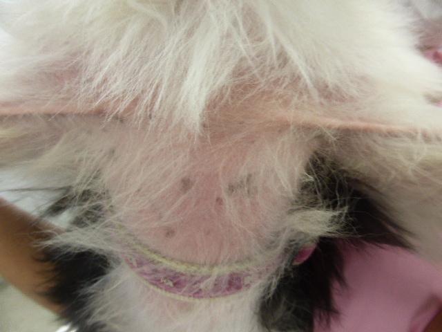 MIX(シーズー)の毛包虫症 3ヶ月後