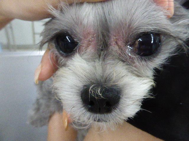 MIX(シーズー×プードル)のマラセチア皮膚炎 顔面