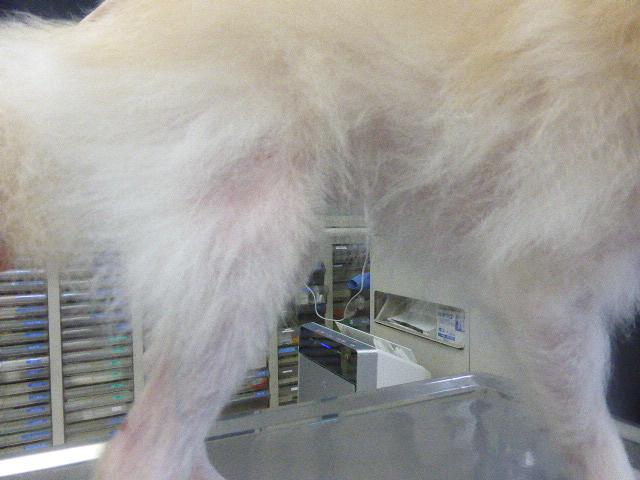 ポメラニアンの脱毛症・アロペシアX 側腹部