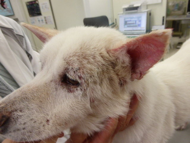 MIX(白柴)の疥癬症 顔面