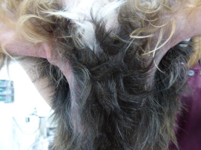MIX(ポメ×Tプー)の脂漏性皮膚炎 脇