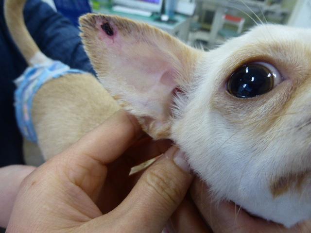 チワワの血管炎 耳介